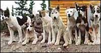 alaska dog mushing