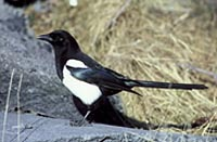 Black -Billed Magpie